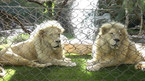 Two Lions in a zoo cage dreams of freedom stock video