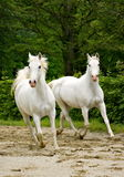 Two Lipizzan horses Royalty Free Stock Photo