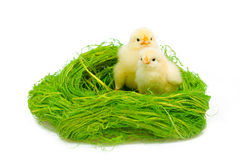 Two littke chicknens Royalty Free Stock Photo