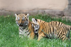 Two little Amur Tiger ramming each other Royalty Free Stock Photography