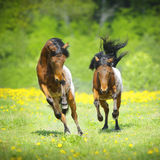 Two little appaloosa foals plaing on the meadow Stock Images
