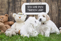 Two little baby dogs kissing: funny greeting card for wedding or. Valentine's day. Race: Coton de Tulear stock photo