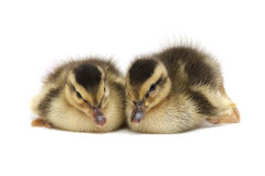 Two Little Baby Ducks Royalty Free Stock Photos