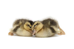 Two Little Baby Ducks Royalty Free Stock Images