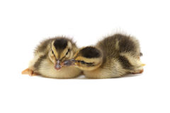 Two Little Baby Ducks Stock Photo