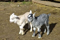 Two little baby goats Royalty Free Stock Photo