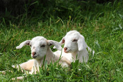 Goats. Two little baby goats lying in the grass stock photo