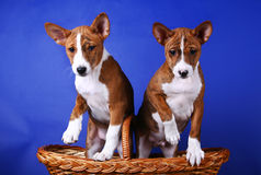 Two little Basenji puppys Royalty Free Stock Photos