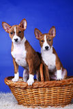 Two little Basenji puppys Stock Images