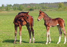 Two little bay foals Stock Image