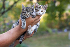 Two little beautiful kittens on a mans hand with blurred green b Stock Image