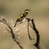 Two Little bee-eaters perched on a branch, Serengeti, Tanzania Royalty Free Stock Images