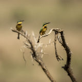 Two Little bee-eaters perched on a branch, Serengeti, Tanzania Royalty Free Stock Photography