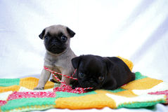 Two little beige puppies Mopsa play with woolen threads. Lying on a plaid Stock Photography