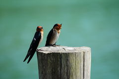 Two Little bird on a stump Stock Images