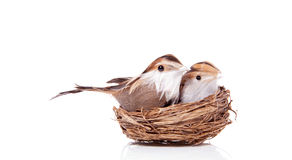 Two Little Birds Brood Royalty Free Stock Photo