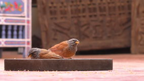 Two little birds eating seeds on the ground. Two little birds, the house buntings (Emberiza sahari) eating seeds from wooden plate on the floor in Morocco stock video