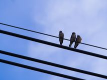 Two Little Birds Love Each Other, with Another Bird. On The Wire Royalty Free Stock Images