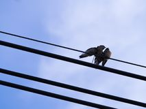 Two Little Birds Love Each Other, with Another Bird. On The Wire Stock Images