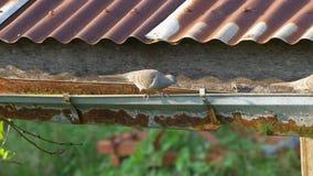 Zebra doves walking on roof gutter