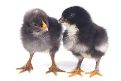 Two little black chick talking isolated on white Stock Photo