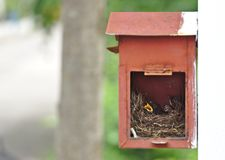 Two little black oriental magpie robin birds lay down on small cozy brown wood nest in old rusty red mailbox hanging on white wall. In front of a house waiting stock photos