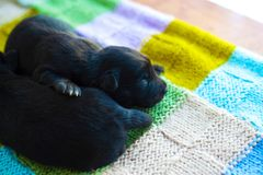 Two little black puppies are resting on the bedspread royalty free stock photography