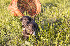 Two little black puppies running on grass Stock Photo