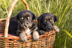 Two little black puppies sitting in the basket outdoors Royalty Free Stock Photos