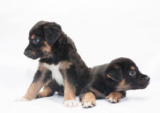 Two little black puppy with brown spots look in different direct Stock Photo