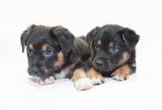 Two little black puppy with brown spots look scared Stock Photos