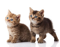Two little blue eyes kitten.  British breed kittens  isolated on Stock Images