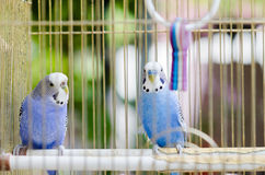 Two little blue parotts in cage Stock Images