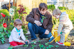 Two little boys and father planting seedlings in vegetable garden royalty free stock image