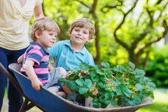 Two little boys having fun in a wheelbarrow pushing by mother Royalty Free Stock Image