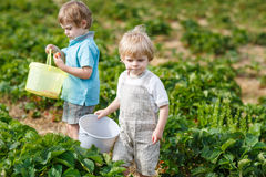 Two little boys on organic strawberry farm Royalty Free Stock Images