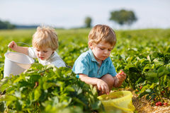 Two little boys on organic strawberry farm Stock Photos