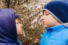 Two boys sniffing cherry blossoms in the spring stock image