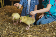 Two little boys try to feed goslings Royalty Free Stock Images