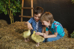 Two little boys try to feed a goslings in farm Stock Photos