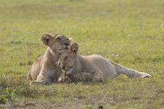 Two little brother lions Stock Photo