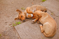 Two little  brown mongrel puppies Stock Photography