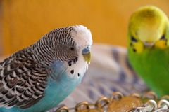 Two little budgies perrot blue and green and yellow stock photo