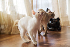 Two little cats are chasing their toy Royalty Free Stock Image