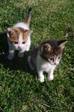 Two little cats on the grass of the garden. Royalty Free Stock Photos