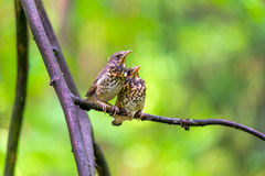 Two little chick sparrow sitting on a branch Stock Photo