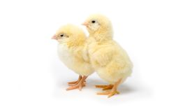 Two Little chicken isolated on white background Royalty Free Stock Photo