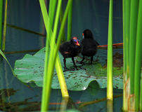 Two little chicken of moorhen Stock Photo