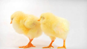 Two little chicken. Two little yellow chicken on white background. HD 720p stock video