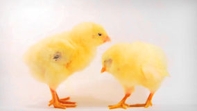 Two little chicken. Two little yellow chicken on white background. HD 720p stock video footage